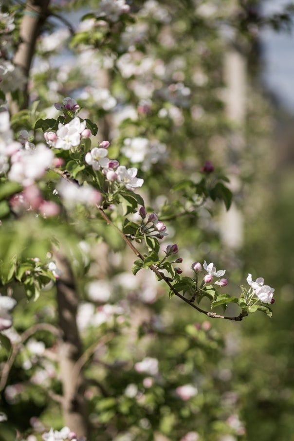 Apple Growing Season - April - Biosüdtirol